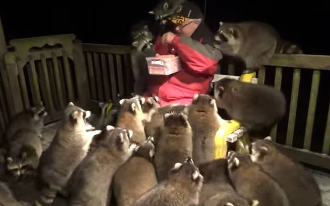 Racoon Whisperer handing out snacks to racoons