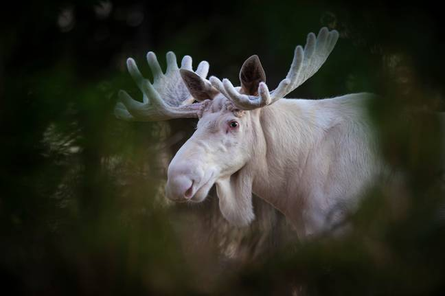 moose in the wild
