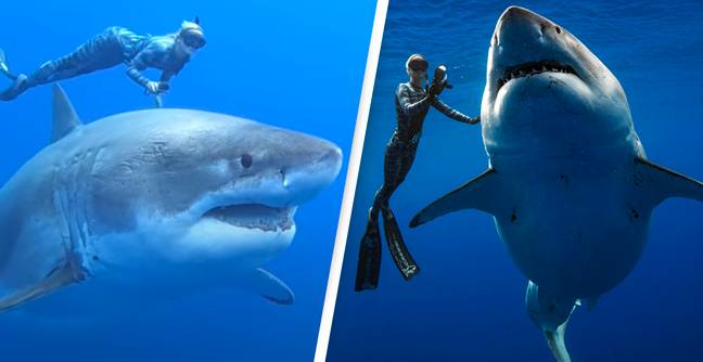 Legendary Deep Blue Is The World's Biggest Recorded Great White Shark
