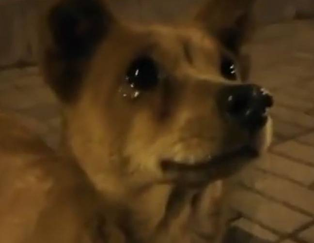 Dog appears to cry tears of joy at being fed