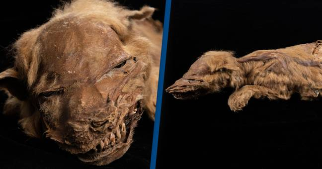 57,000-Year-Old Frozen Wolf Puppy Discovered Is The Oldest Ever Found