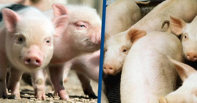 FDA Approves Genetically Engineered Pigs For Food And Medicine [TECH]