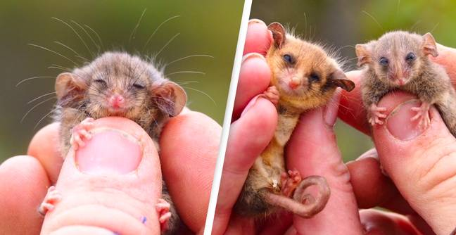 Rare Pygmy Possums Rediscovered After Fears Bushfires Wiped Them Out