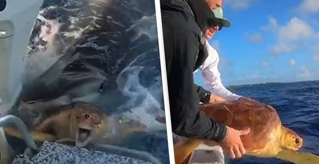 Two Men Rescue Turtle From Jaws Of Hungry Tiger Shark
