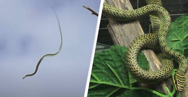 Scientists Uncover How Flying Snakes Fly