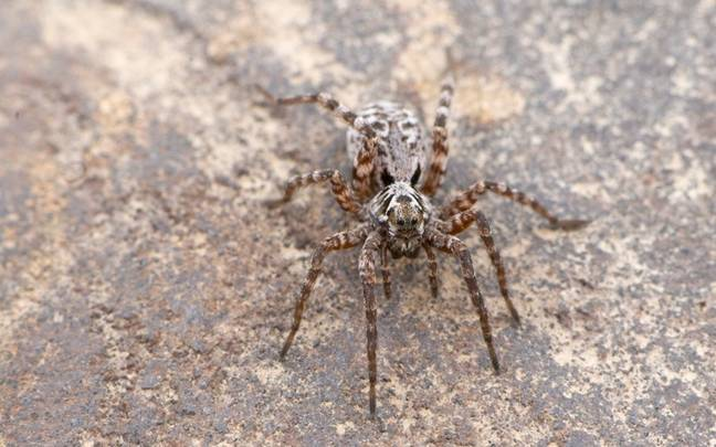 Huge Mother Wolf Spider Carries Its Babies On Back In Horrifying Photo