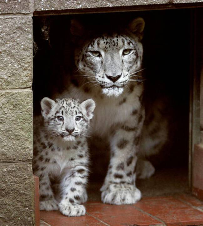 Himani Snow Leopard Whose 7 Cubs Helped Conservation Efforts Dies Aged 17