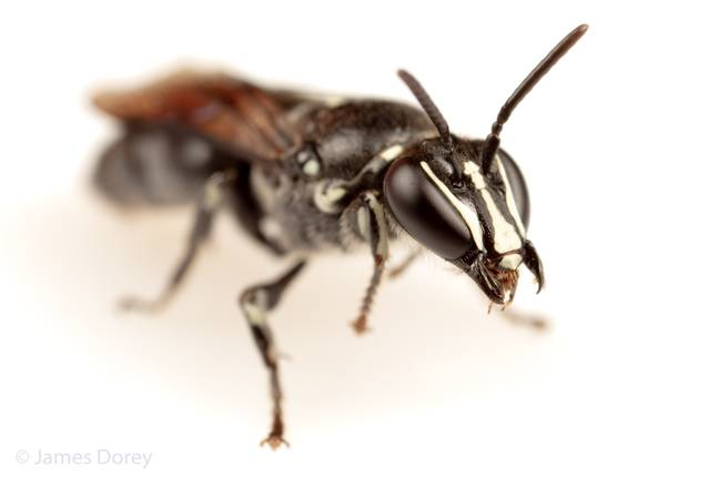 Pharohylaeus lactiferus discovered in Queensland