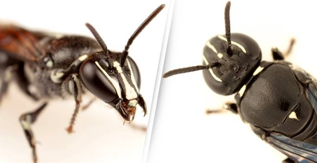 Bee Species Last Seen A Hundred Years Ago Rediscovered In Australia