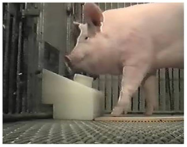 Pigs Are So Clever They Can Play Video Games With Their Snouts