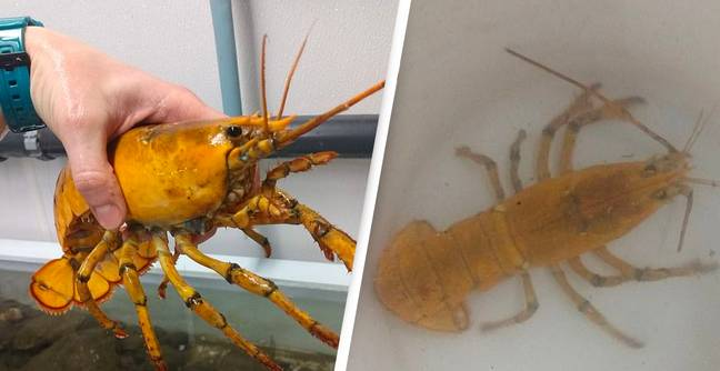 Banana The Yellow Lobster Is A One-In-30 Million Catch