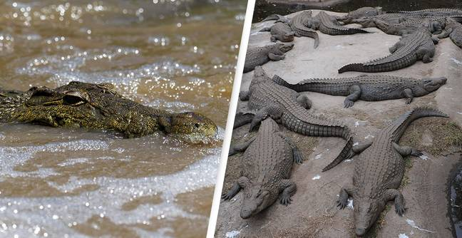 Mass Escape Of 'Very Dangerous' Crocodiles Leads To Police Hunt