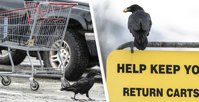 Costco Shoppers In Alaska Are Complaining That Ravens Are Stealing Their Groceries