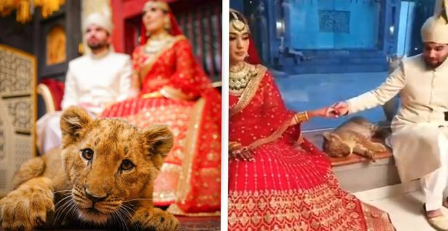 Couple Face Backlash For Posing With Sedated Lion Cub In Wedding Photoshoot