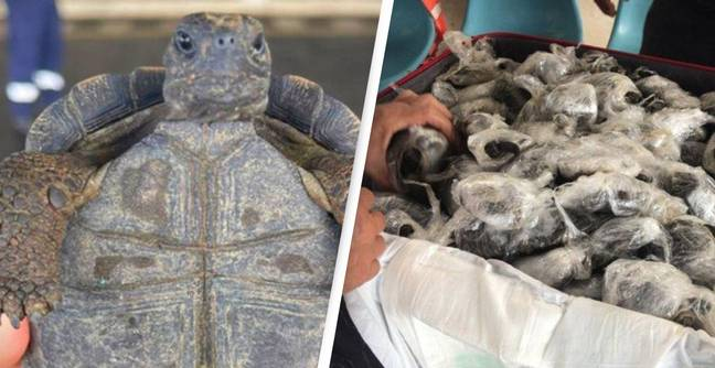 185 Baby Galapagos Sea Turtles Seized From Smugglers