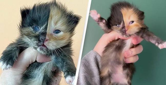 Orphaned Kitten Found In Wall Has Perfectly Symmetrical Two-Tone Face