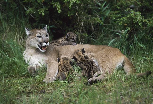 Mountain Lion - PA Images