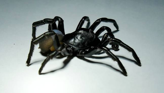 New Venomous 'Tarantula-Like' Spider Species Discovered That Can Live For Decades
