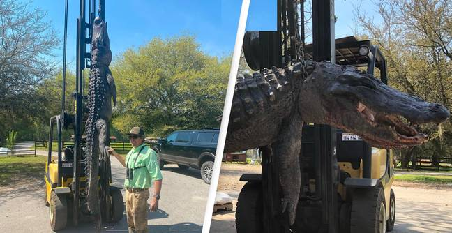 Multiple Dog Tags And Other Random Items Found Inside Huge 31 Stone Alligator