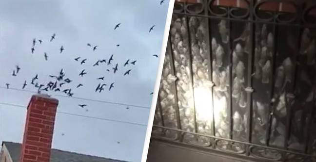 Hundreds Of Birds Swoop Down Chimney And Invade Family Home