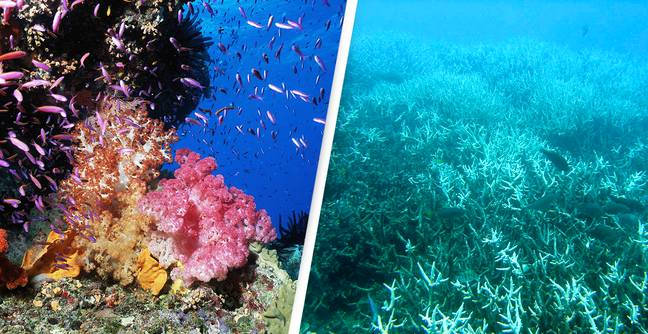 Great Barrier Reef Doomed With Up To 99% At Risk, Report Finds