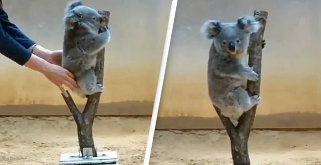 People Are Just Learning The Adorable Way You Weight A Koala