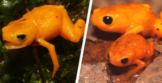 Cute But Poisonous Fluorescent Neon 'Pumpkin' Toad Discovered In Brazil