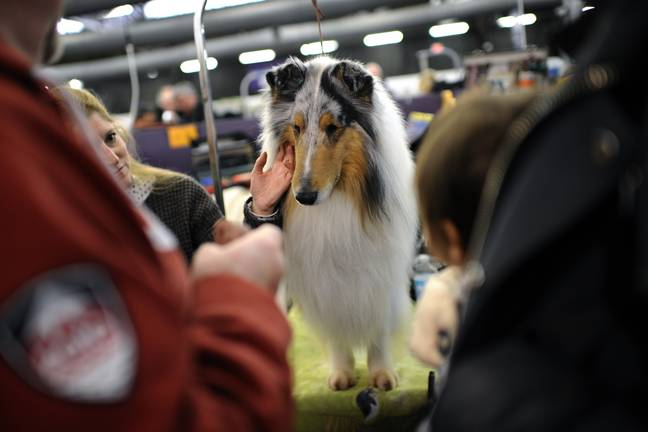 Rough Collie at a New York dog show in 2016. (PA Images)