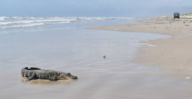 Alligator From Louisiana Washes Up On Texas Beach More Than 400 Miles Away