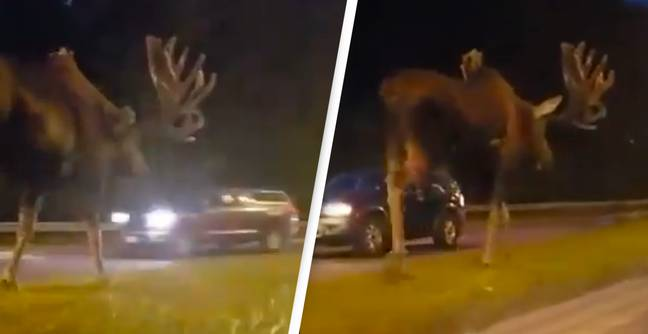 People Are Stunned After Only Just Realising How Big Moose Can Be