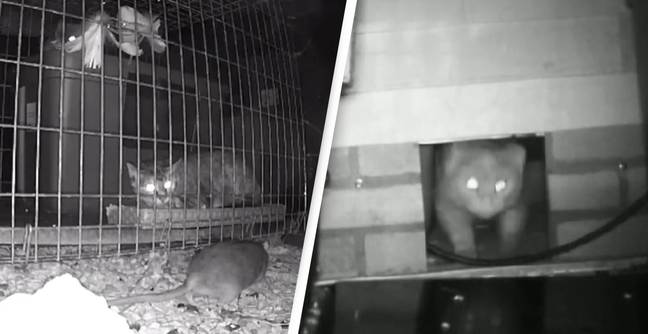 Chicago Releases 1,000 Feral Cats To Fight Rat Infestation