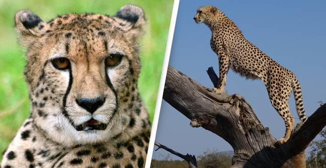 Cheetahs To Be Finally Reintroduced To India After Last Were Hunted To Local Extinction 70 Years Ago