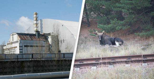 35 Years On The Chernobyl Exclusion Zone Has Become Home To Rare And Endangered Species