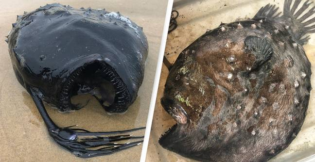 Monstrous-Looking Deep Ocean Fish Washes Up On California Beach
