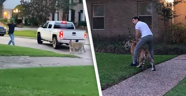 Alleged Owner Of Tiger On The Loose In Suburban Neighbourhood Denies It's His