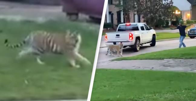 Tiger On The Loose In Suburban Neighbourhood Almost Gets Shot By Neighbour