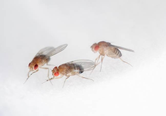 fruit fly (PA Images)