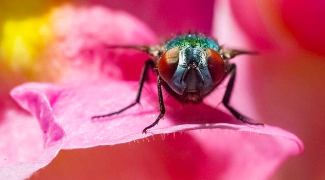 fruit fly flower (PA Images)