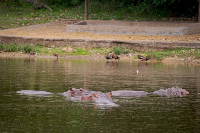 Hippos were first imported by Pablo Escobar in the 1980s (PA Images)