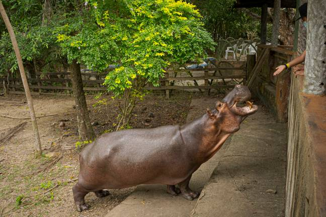 The hippos have become a popular tourist attraction (PA Images)