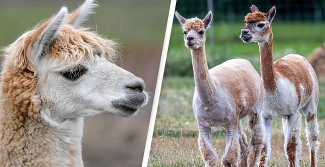 People Are Baffled By What Newborn Alpacas Really Look Like