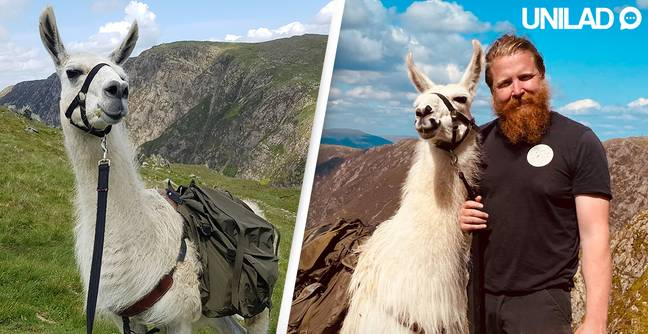 Former Soldier Now Uses Rescued Llamas To Help Improve People's Mental Health