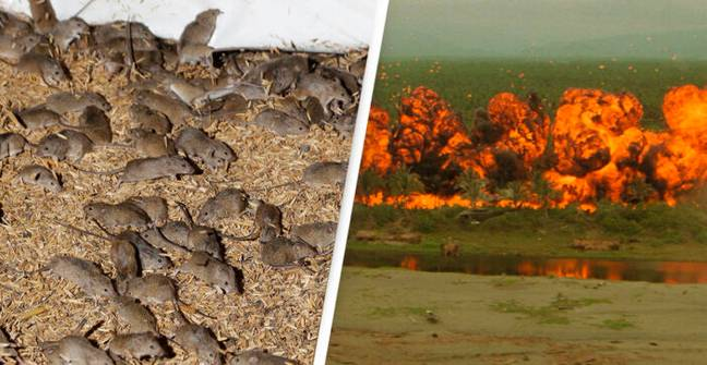 NSW Government Preparing 'Mice Napalm' To Stop Plague Spreading To Five Million
