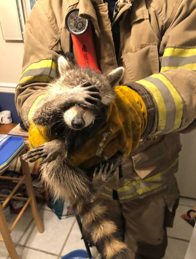 Racoon looking embarrassed after being caught (City of Dalton Fire Department)