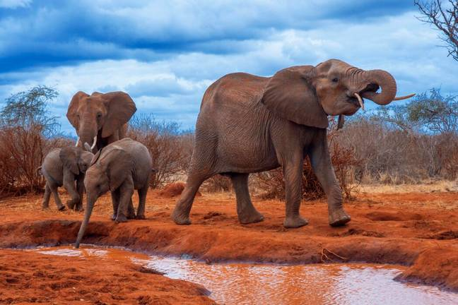 Kenya's elephant population has doubled since the 1980s (PA Images)