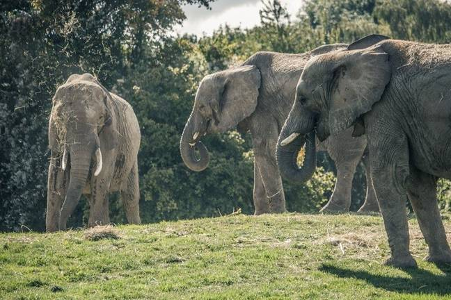 13 elephants will be released to their natural habitat in Kenya (The Aspinall Foundation)