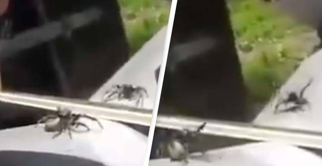 This Spider's Reaction To Seeing Itself In The Mirror Is Incredible