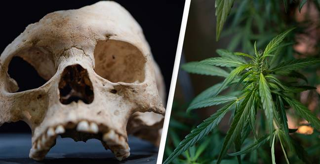 Cannabis Was First Domesticated In The Stone Age, Study Suggests