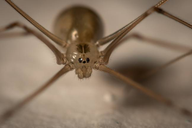 Daddy long legs spider. (Andrew Stelmach/Flickr (CC BY-NC-ND 2.0))