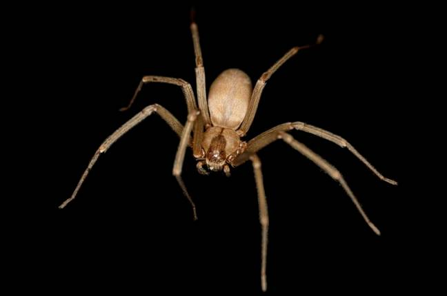 Brown recluse spider (Wikimedia Commons)
